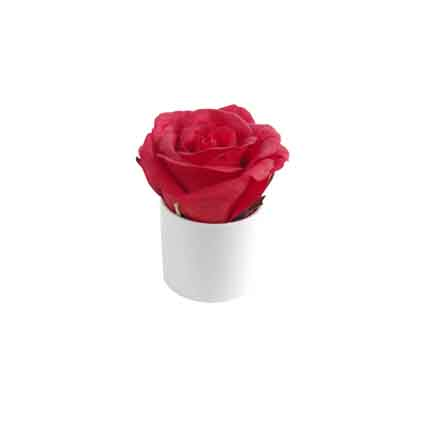 Rose rouge en pot
